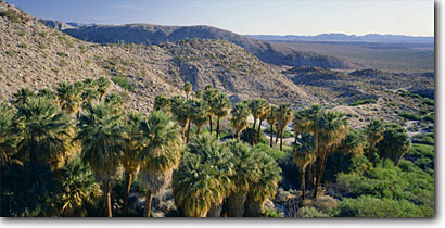 Stock photo. Caption: California fan palms Southwest Palm Grove Anza-Borrego Desert State Park Sonoran Desert,  California -- deserts spring arid deserts united states southwest southwestern panoramic panoramics panorama panoramas native washingtonia filifera blue skies clear groves parks oasis palm tree trees landscapes landscape destination destinations scenic scenics