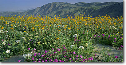 Stock photo. Caption: Desert sand verbena & desert sunflower Borrego Valley and Coyote Mountain   in Anza-Borrego Desert State Park San Diego County,  California -- deserts flowers wildflower wildflowers deserts united states america southwest southwestern sweet Abronia villosa Desertgold Geraea canescens bloom mountains panoramic panoramics panoramas landscape landscapes scenics scenic views spring view sunny clear