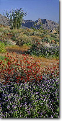 Stock photo. Caption: Common phacelia, chuparosa and ocotillo Yaqui Meadows and Indianhead Anza-Borrego Desert State Park San Diego County, California -- splendens colorado parks deserts valley wildflowers flowers mountains wildflower flower spring landscape landscapes blue skies clear sunny colorful diversity bloom distans floral scenic scenics panoramic panorama panoramas
