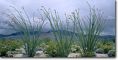 Stock photo. Caption: Ocotillo and Pinyon Mountains Borrego Valley Anza-Borrego Desert State Park San Diego County, California -- splendens colorado parks deserts valley flowers mountains wildflower flower spring landscape landscapes  sunny colorful diversity bloom distans floral scenic scenics panoramic panorama panoramas triple three stormy storm  flowering deserts