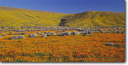 Stock photo. Caption: California poppies and California goldfields Antelope Valley Mojave Desert Los Angeles County,  California -- united states mohave deserts  Eschscholzia californica Coreopsis  foothills wildflowers flowers rolling hills wildflower artistic nature spring landscape landscapes gold poppy Lasthenia glaberrima panoramic panoramics panoramas golden blue  sunny clear