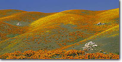 Stock photo. Caption: California poppies Portal Ridge Antelope Valley California -- mohave deserts Eschscholzia californica foothills wildflowers flowers rolling hills wildflower artistic nature landscape landscapes gold poppy panoramic panoramics panoramas golden filled with scenes spring angles form forms sweet sunny blue skies clear