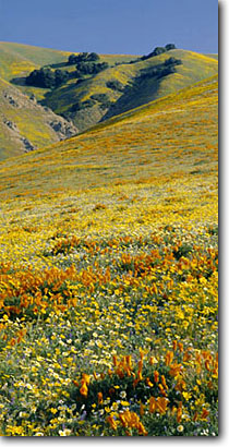 Stock photo. Caption: California poppies & California coreopsis Tehachapi Mountains near Gorman Los Angeles County, California -- united states mohave deserts Eschscholzia californica foothills wildflowers flowers rolling hills wildflower artistic nature america landscape landscapes gold poppy panoramic panoramics panoramas panorama golden filled with scenes spring angles sweet