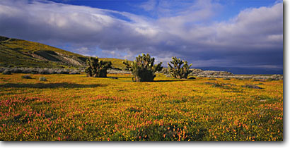 Stock photo. Caption: California poppies, California  goldfields and joshua trees Antelope Valley Mojave Desert Los Angeles County,  California -- united states mohave deserts  Eschscholzia Coreopsis californica foothills wildflowers flowers rolling hills wildflower artistic nature america landscape landscapes gold poppy Yucca brevifolia panoramic panoramics panoramas golden dramatic skies spring