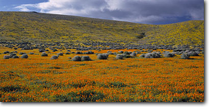 Stock photo. Caption: California poppies Antelope Valley Mojave Desert Los Angeles County,  California -- united states mohave deserts Eschscholzia californica foothills wildflowers flowers rolling hills wildflower america landscape landscapes gold poppy golden carpets carpet panoramic panoramics panoramas views scenic view with sunny spring