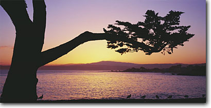 Stock photo. Caption: Monterey cypress and gulls Lover