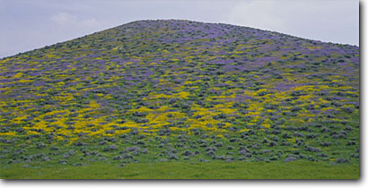 Stock photo. Caption: Monolopia and fernleaf phacelia Temblor Range Carrizo Plain National Monument Kern County,  California -- flowers flower wildflower wildflowers foothill foothills monuments united states floral tanacetifolia hillside  fresh balance harmony sweet luxurious lanceolata panoramic panoramics panoramas nature conservency reserves reserve form balance landscapes