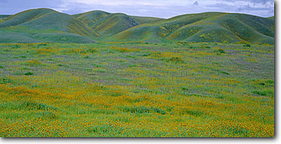 Stock photo. Caption: Fiddleneck,  Choice Valley Temblor Range, San Andreas Fault Zone Carrizo Plain National Monument San Luis Obispo County,  California -- flowers flower wildflower wildflowers foothill foothills monuments floral  hillside fresh balance harmony sweet luxurious panoramic panoramics panoramas nature conservency reserves reserve form balance landscapes panorama lush flora native plants plant