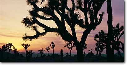 Stock photo. Caption: Joshua trees at sunset    near West Entrance Joshua Tree National Park Mojave Desert,  California -- panoramic panoramics panoramas panorama deserts southwest southwest southwestern arid mohave united states america landscape landscapes scenic scenes views skies scenic scenics view sunsets colorful silhouette silhouettes tree native