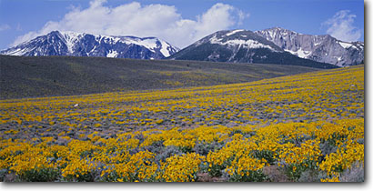 Stock photo. Caption: Arrowleaf balsamroot Mt. Lewis, Mt. Parker and Mt. Wood Inyo National Forest Sierra Nevada, California -- mountain mountains peak peaks range ranges color arid sagebrush country united states america landscape landscapes Balsamorhiza sagittata sunflower sunflowers sierras panoramic panoramics panoramas panorama sunny blue skies clear yellow scenic scenics