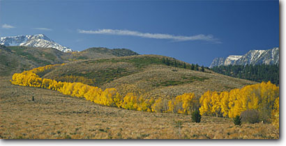 Stock photo. Caption: Aspens line Laurel Creek   and the Mammoth Crest Inyo National Forest Sierra Nevada,  California -- aspen mountain mountains peak peaks range ranges fall color arid sagebrush country united states landscape landscapes colors tree trees colour colours panoramic panoramics panoramas blue skies sunny clear winding scenic scenics views sierras eastern