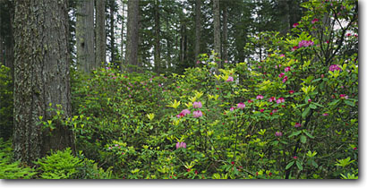 Stock photo. Caption: Western rhododendron and coast redwood Highway 101 Del Norte Coast Redwoods State Park Del Norte County,  California -- tree trees spring sequoia sempervirens parks forest forests verdant lush united states ancient growth virgin foggy solitude eternal rhododendrons pacific macrophyllum flowers trunks world heritage site sites panoramic panoramics panoramas panorama scenic