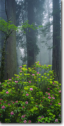 Stock photo. Caption: Western rhododendron and coast redwoods Highway 101 Del Norte Coast  Redwoods State Park Del Norte County,  California -- tree trees redwood sequoia sempervirens parks forest forests verdant lush united states spring ancient growth virgin foggy solitude eternal rhododendrons pacific flowers world heritage site sites panoramic panoramics panoramas panorama views scenic view