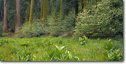 Stock photo. Caption: False hellebore and mountain dogwood Giant Forest Sequoia National Park Sierra Nevada, California -- sequoia redwood tree trees forest forests spring parks ancient growth travel tourist destination destination panoramic panoramics panoramic panorama tourists attraction attractions visitors world meadow meadows fenn fenns scenics scenic