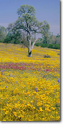Stock photo. Caption: California poppies, California goldfields and purple owl