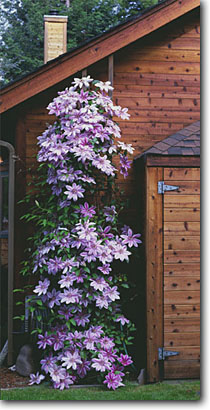 Stock photo. Caption: Clematis,  Nelly Moser Private garden Trinidad Humboldt County,  California -- states flowers flower bloom blooming gardening landscaping vine  abundant corner cascading climbing panoramic panoramics panoramas panorama vines western coast coastal planting plants landscape problem places large cultivar species trellis trellises