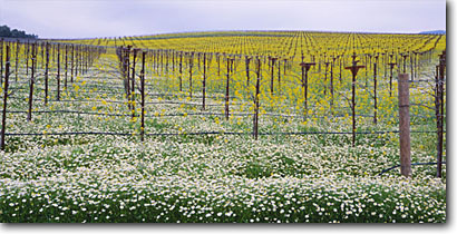 Stock photo. Caption: Daisies and mustard in vineyard Russian River Valley    near Asti Sonoma County,  California -- wine country spring rural crops grape grapes hills grass green agriculture vine vines vineyards countryside beauty farming farm united states america rural pastoral bountiful  growing region regions panoramic panoramics panoramas panorama landscapes views