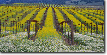 Stock photo. Caption: Daisies and mustard in vineyard Russian River Valley    near Asti Sonoma County,  California -- wine country spring rural crops grape grapes trees hills agriculture vine vines vineyards countryside farming farm united states america rural pastoral bountiful flowers flower wildflowers growing region regions linear lines panoramic panoramics panoramas