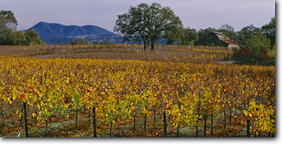 Stock photo. Caption: Vineyards along River Road Russian River Valley Sonoma County California -- wine country spring rural crops grape grapes trees fall agriculture vine vines vineyards countryside farming farm rural autumn bountiful growing region regions harvest panoramic panoramics panoramas panorama landscapes landscape buildings sunny clear