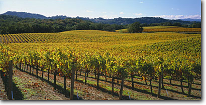 Stock photo. Caption: Vineyards along Highway 128 Alexander  Valley North Coast Ranges Sonoma County,  California -- wine country crops grape grapes hills agriculture vine vines vineyards countryside farming farm america rural autumn bountiful growing region regions linear lines harvest landscape landscapes clear skies views fall panoramics panoramic panoramas panorama