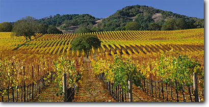 Stock photo. Caption:  Vineyards along Highway 128 Alexander  Valley North Coast Ranges Sonoma County,  California -- wine country crops grape grapes trees hills agriculture vine vines vineyards countryside farming farm united states america rural pastoral bountiful growing region regions linear lines panoramic panoramics panoramas autumn fall landscape landscapes views