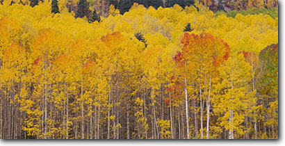 Stock photo. Caption: Aspens and blue spruce below the  Hermosa Cliffs San Juan National Forest San Juan Mountains,  Colorado -- Rocky Mountain aspen spruces tree trees fall autumn color forests united states rockies picturesque peaceful colour colors colours panoramic panoramics panoramas panorama landscape landscapes yellow scenic views view scenics smooth beautiful delightful