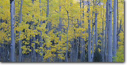 Stock photo. Caption: Aspens,  Cimarron River Valley Uncompahgre National Forest San Juan Mountains Rocky Mountains, Colorado -- aspen tree trees fall autumn color forests united states mountains rockies picturesque peaceful colour colors colours panoramic panoramics panoramas panorama scenic landscapes landscape views view lines vertical simple basic scenics yellow