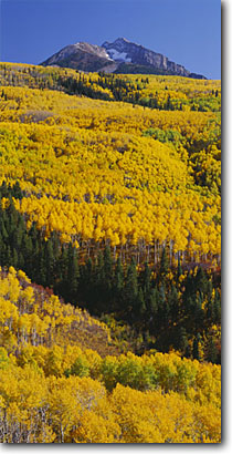 Stock photo. Caption: Aspens, blue spruce and Chair Mountain   from McClure Pass Gunnison National Forest Rocky Mountains, Colorado -- aspens tree trees fall autumn color forests united states mountains rocky rockies mount peak peaks colours colours panoramic panoramics panoramas panorama landscape landscapes sunny clear blue skies yellow vast scenic views view scenic