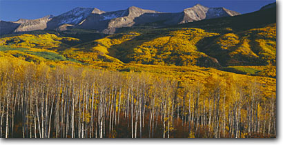 Stock photo. Caption: Aspens and East Beckwith Mountain West Elk Mountains Gunnison National Forest Rocky Mountains,  Colorado -- aspens tree trees fall autumn color forests united states mountains rockies mount peak peaks colours colours panoramic panoramics panoramas panorama landscap landscapes scenic view views scenics blue sunny clear skies crisp afternoon clean