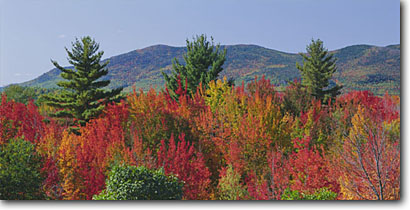 Stock photo. Caption: Red maples and eastern white pines Middle and South Moat Mountains in  White Mountain National Forest New Hampshire,  New England -- maple tree trees forests hardwood hardwoods northern upper midwest united states america fall autumn landscape landscapes color colors brilliant colour colours panoramic panoramics panoramas panorama sunny blue skies clear scenics scenic views view crisp