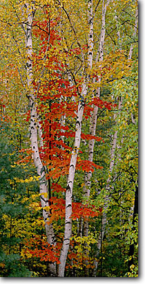 Stock photo. Caption: Paper birches in the Wild River Valley White Mountain National Forest New Hampshire New England -- tree trees forests hardwood hardwoods northern upper midwest fall autumn landscape landscapes color colors brilliant colour colours panoramic panoramics panoramas panorama scenics scenic foliage trunks contrast fresh faith