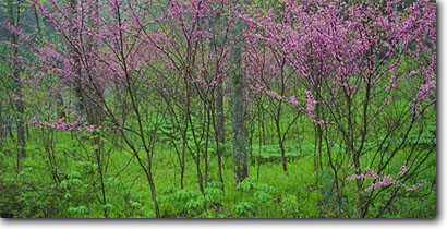 Stock photo. Caption: Redbud along Trough Creek Trough Creek State Park Appalachian Mountains Huntington County,  Pennsylvania -- color northeast northeastern united states tree trees soft purity appalachians spring hope harbinger harmony floral abundance colour colours soft appalachia panoramic panoramics panoramas panorama pink blossoms blossom landscape landscapes scenics scenic