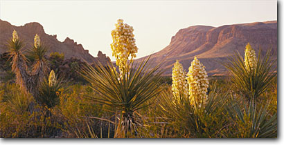 Stock photo. Caption: Torrey yucca Chisos Mountains Big Bend National Park Chihuahuan Desert,  Texas -- balanced balance spring parks deserts landscape landscapes southwest southwestern united states america tourist travel destination destinations yuccas arid panoramic panoramics panoramas panorama sunny clear skies dawn morning light scenics scenic views