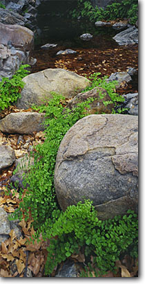 Stock photo. Caption: Venus maidenhair below Cattail Falls Chisos Mountains Big Bend National Park Chihuahuan Desert,  Texas -- spring mountains pool pools  deserts landscape landscapes detail details ferns fern lush oasis spring panoramic panoramics panoramas panorama quiet places scenic scene scenics relaxing refreshing fresh