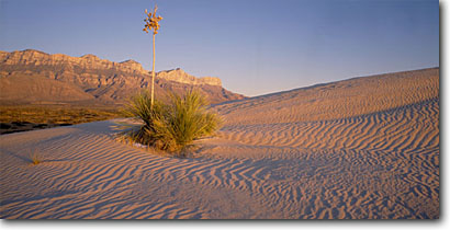 Stock photo. Caption: Soaptree yucca   and gypsum dunes Guadalupe Mountains National Park Texas -- panorama panoramas panoramic panoramics america landscape landscapes scenic scenics scene fall winter autumn blue clear sunny parks mountain range texan yuccas sand dune ripples rippled sandy survivor tenacity tenacious desert deserts