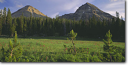 Stock photo. Caption: Lodgepole pines in Reids Meadow Reids Peak and Bald Mountain Uinta Mountains Wasatch National Forest,  Utah -- forests mountain united states america tree trees wild fresh highcountry cloudy meadows high country