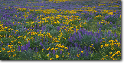 Stock photo. Caption: Arrowleaf balsamroot, broadleaf lupine   and bare stem desert parsley Dallas Mountain Road,  Columbia Hills Klickitat County,  Washington -- united states wildflower artistic nature wildflowers pacific northwest high deserts sagebrush country basin river balsamorhiza sagittata lupinus latifolius Lomatium nudicaule blooming bloom lupines yellow blue panoramic panoramics panoramas scenics scene