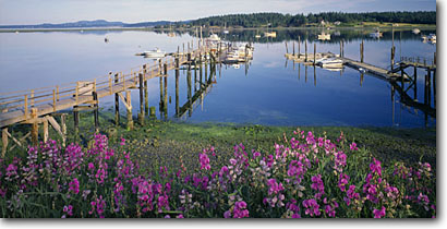 Stock photo. Caption: Beach pea and Lopez Harbor Lopez Island San Juan Islands Washington -- panorama panoramas panoramic panoramics landscape landscapes scenic scenics protected buildings building summer destinations sunny clear blue skies shore boats boat docks dock harbors safe flowers juans boating leisure calm tranquil western destinations