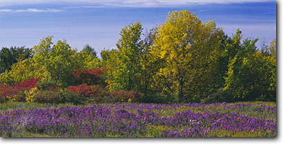 Stock photo. Caption: Azure asters and maples Highway 57 Door County Door Peninsula,  Wisconsin -- united states america travel tourist destination destinations flowers scenic drives byways backroads color contrast colour colours wildflower wildflowers rural pastoral country panoramic panoramics panoramas panorama sunny blue fall clear roadside autumn