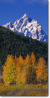 Stock photo. Caption: Aspens at Oxbow Bend   and the Grand Teton Grand Teton National Park Rocky Mountains,  Wyoming -- peak aspen fall autumn color colors range parks ranges peaks majestic landscape landscapes travel vacation destination destinations tetons rockies crisp clear serenity serene panoramic panoramics panoramas sunny blue panorama skies majestic mountain