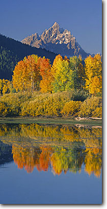 Stock photo. Caption: Aspens at Oxbow Bend Snake River and the Grand Teton Grand Teton National Park Rocky Mountains,  Wyoming -- united states parks fall autumn color colors range ranges peaks majestic landscape landscapes tourist travel vacation destination destinations tetons rockies serenity serene reflection reflections panoramic panoramics panoraramas sunny blue clear scenics
