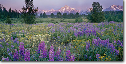 Stock photo. Caption: Silky lupine and groundsel Grand Teton,  Teton Range Grand Teton National Park Rocky Mountains, Wyoming -- panorama panoramas panoramic panoramics destination destinations attraction attractions landscape landscapes parks tetons rockies summer scenic scenics meadow meadows flowers flower wildflowers wildflowers Lupinus argentus blooming mountain trees evening