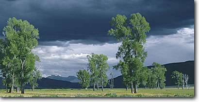 Stock photo. Caption: Cottonwoods Lamar River Valley Yellowstone National Park Rocky Mountains,  Wyoming -- united states parks trees tree ranges landscape landscapes tourist travel vacation destination destinations rockies thunderstorm summer clouds dramatic meadow world heritage site sites panoramic panoramics panoramas panorama scenics scenic habitat