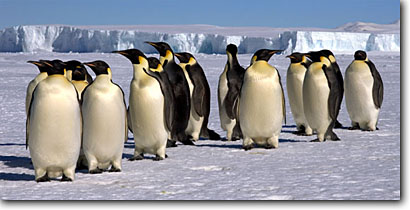 Stock photo. Caption: Emperors penguins marching Cape Washington Ross Sea Southern Ocean, Antarctica -- Keywords: iceberg icebergs severe extreme weather climate global warming aquatic flightless south pole continent southern coastal glacial penguin habitat birds bird march emperor snow antarctic animal animals panoramic panoramics panoramas seabird seabirds