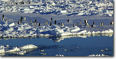 Stock photo. Caption: Emperors in Alpenglow Ross Sea Southern Ocean Antarctica -- iceberg icebergs severe extreme weather climate global warming international research south pole continent southern coastal penguin habitat glacier glacial glaciers bird birds snow antarctic penguins coastal shoreline coast panoramic panoramics