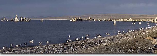 Stock photo. Caption: California Gulls at sunset South Mono Lake Tufa Area Mono Lake Tufa State Reserve Mono County, California -- Keywords: panoramic panoramics landscape landscapes great basin united states america scenic forest national eastern sierras eastside shore shoreline lakes geologic formation formations unusual reserves protected panorama panorams gull birds bird animal animals