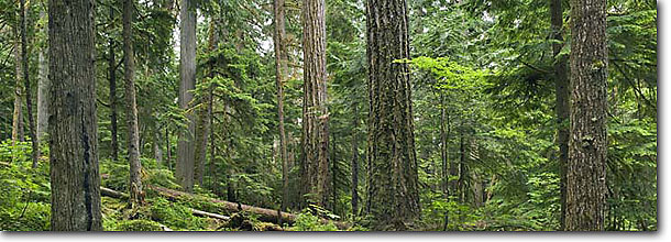 Stock photo. Caption: Old growth Douglas fir forest Thunder Creek Trail North Cascades National Park North Cascade Range,  Washington -- Keywords: united states america northwest northwestern pacific state landscape landscapes parks forests rainforest temperate rainforest panorama panoramas panoramic panoramics tree trees virgin scenic scenics rainforests northern
