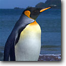 Stock photo. Caption: King penguins and royal penguins Macquarie Island Australia Southern Ocean,  Subantarctic -- Keywords: