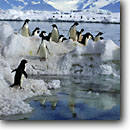 Stock photo. Caption: Adelie penguins Cape Adare Ross Sea,  Southern Ocean Antarctica -- Keywords: