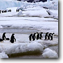 Stock photo. Caption: Adelie penguins Franklin Island Ross Sea,  Southern Ocean Antarctica -- Keywords: